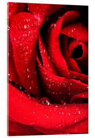 Akrylbillede  Red rose with water drops
