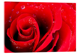 Akrylbillede  Red rose bloom with dew drops