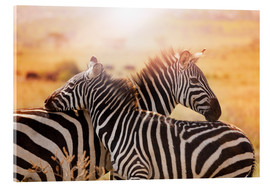 Akrylbillede  Zebra with its foal, Kenya