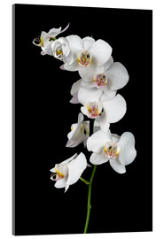 Akrylbillede  White orchid on a black background