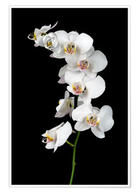 Premium-plakat  White orchid on a black background