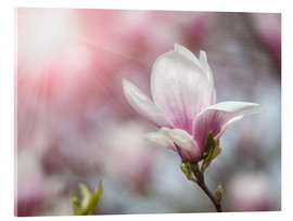 Akrylbillede  Magnolia flower in sunlight