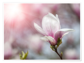 Premium-plakat  Magnolia flower in sunlight