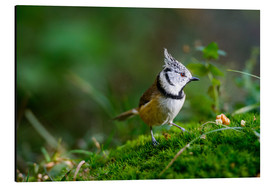 Print på aluminium  Cute tit standing on the forest ground - Peter Wey