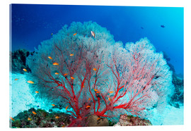 Akrylbillede  Melithaea sea fan and lyretail anthias