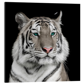 Akrylbillede  Sumatran tiger with turquoise eyes