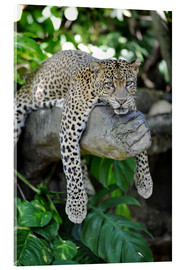 Akrylbillede  Leopard hanging around