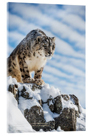 Akrylbillede  Snow leopard (Panthera india) - Janette Hill