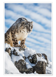 Premium-plakat Snow leopard (Panthera india)