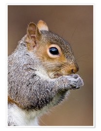 Premium-plakat  Grey squirrel - John Devries