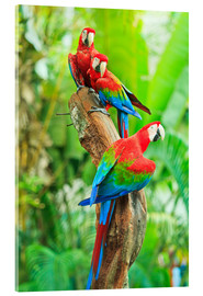 Akrylbillede  Group of dark red macaws