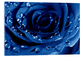 Akrylbillede  Blue Roses with Water Drops
