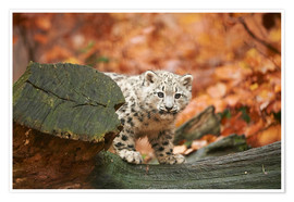 Premium-plakat Snow leopard in the forest