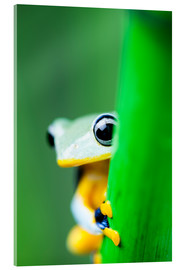 Akrylbillede  yellow tree frog