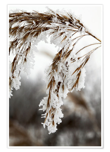 Premium-plakat Cereal stalk covered with frost