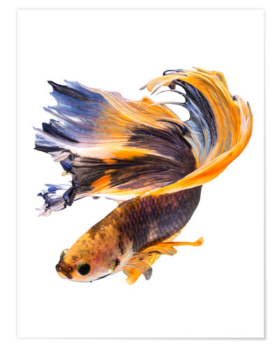 Premium-plakat Campfish orange and blue
