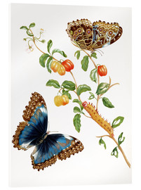 Akrylbillede  Branch Of West Indian Cherry With Achilles Morpho Butterfly - Maria Sibylla Merian