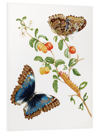 Print på skumplade  Branch Of West Indian Cherry With Achilles Morpho Butterfly - Maria Sibylla Merian