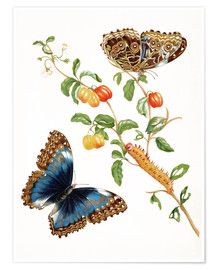 Premium-plakat  Branch Of West Indian Cherry With Achilles Morpho Butterfly - Maria Sibylla Merian