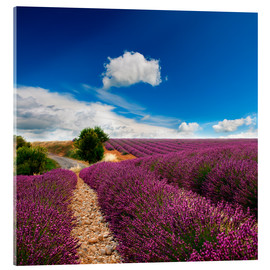 Akrylbillede  Beautiful lavender field