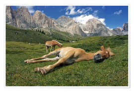 Premium-plakat Peacefully sleeping Haflinger foal on a mountain meadow