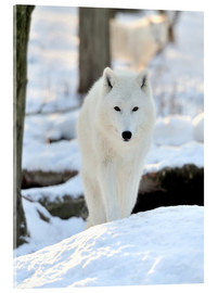 Akrylbillede  Beautiful white wolf in the winter