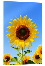 Akrylbillede  Radiant sunflower