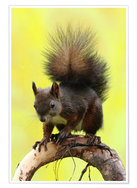 Premium-plakat  Squirrel on a branch - Uwe Fuchs