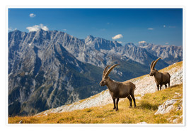 Premium-plakat Two Alpine Ibex in front of Mount Watzmann