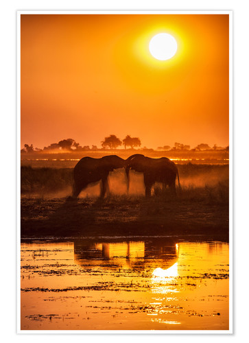 Premium-plakat Elephants at sunset, Chobe Park,Botswana, Africa