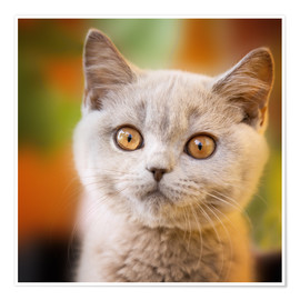 Premium-plakat British shorthair kitten portrait