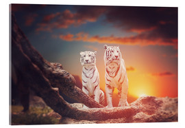 Akrylbillede  Two white tigers