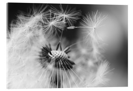 Akrylbillede  Flying seeds of the dandelion - Julia Delgado