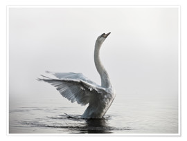 Premium-plakat  Swan on lake - Alex Saberi