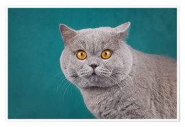 Premium-plakat Imposing British short-haired cat