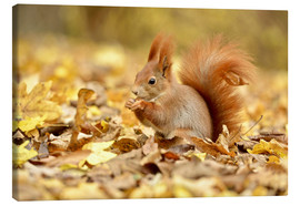 Lærredsbillede  Red Squirrel in an urban park in autumn