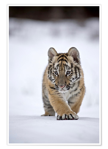 Premium-plakat Siberian Tiger cub, walking on snow