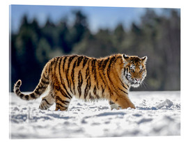 Akrylbillede  Siberian tiger in deep snow