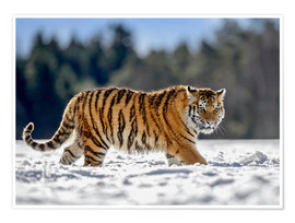 Premium-plakat Siberian tiger in deep snow