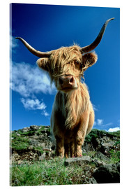 Akrylbillede  Scottish highland cattle - Duncan Usher