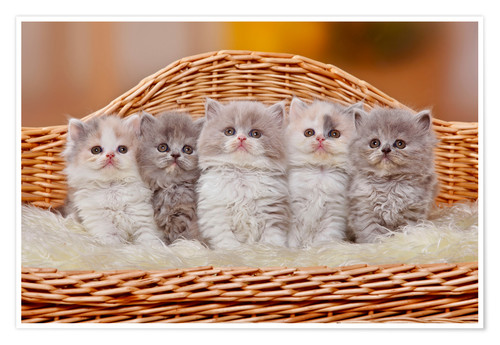 Premium-plakat Five British Longhair kittens