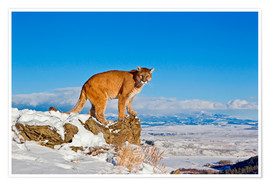 Premium-plakat Puma standing on rock in snow, Rocky Mountains