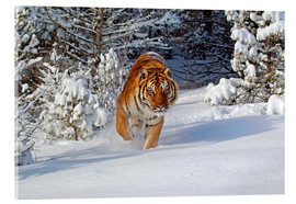 Akrylbillede  Siberian Tiger walking in snow - FLPA