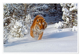 Premium-plakat Siberian Tiger walking in snow