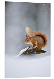 Print på skumplade  Eurasian Red Squirrel standing on branch in snow - FLPA