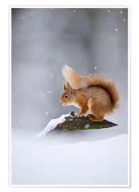 Premium-plakat  Eurasian Red Squirrel standing on branch in snow - FLPA