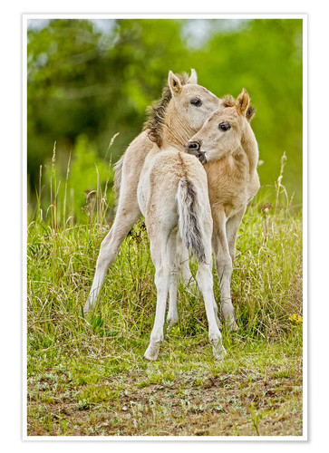 Premium-plakat Konik, wild horse, two foals playing