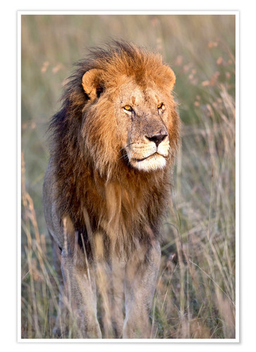 Premium-plakat Maasai lion in the prairie