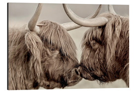 Print på aluminium  Two Scottish highland cattle