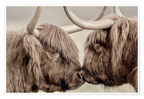 Premium-plakat Two Scottish highland cattle